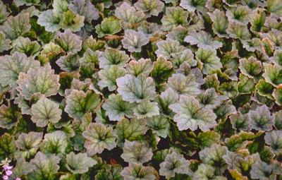 Mijterloof - Tellima grandiflora 'Purpurteppich'