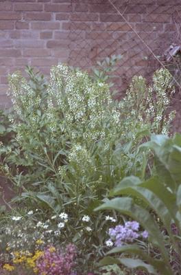 Mierik - Armoracia rusticana