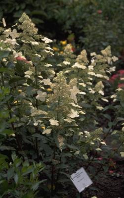 Pluimhortensia - Hydrangea paniculata 'Kyushu'
