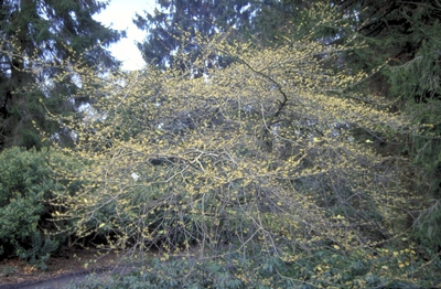 Amerikaanse toverhazelaar - Hamamelis virginiana