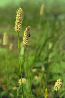 Adderwortel Persicaria bistorta