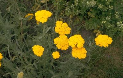 Herfstanemoon - Anemone x hybrida 'Pamina'