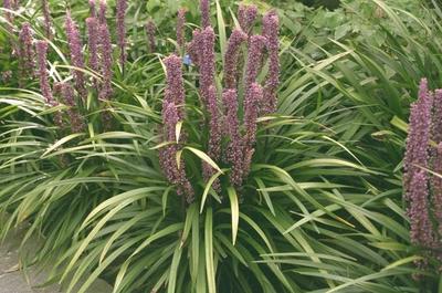 Leliegras - Liriope muscari 'Ingwersen'