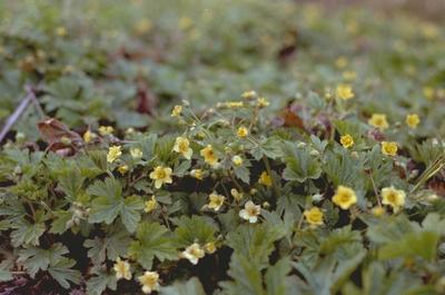 Pluimspirea - Astilbe chinensis 'Pumila'