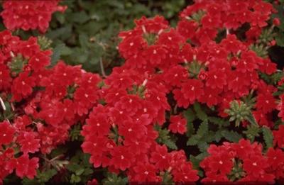 Verbena - Verbena 'Romance Scarlet'