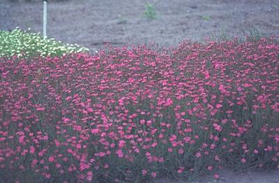 Steenanjer - Dianthus deltoides 'Splendens'