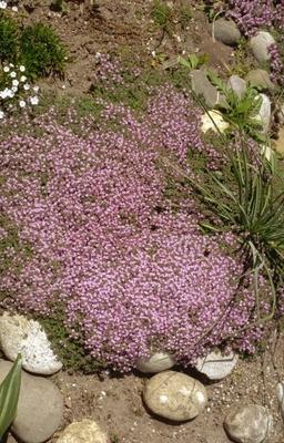 Tijm - Thymus pseudolanuginosus