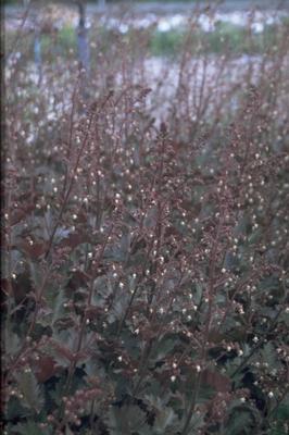 Purperklokje - Heuchera 'Chocolate Ruffles'