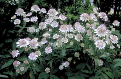 Zeeuws knoopje - Astrantia major 'Buckland'