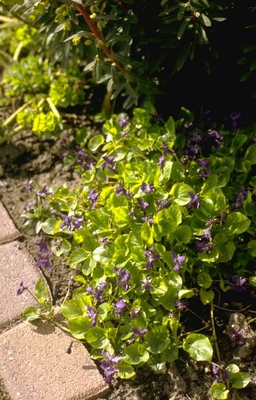 Maartsviooltje - Viola odorata 'Königin Charlotte'