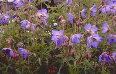 Beemdooievaarsbek - Geranium pratense