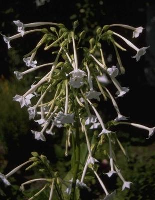Siertabak - Nicotiana sylvestris