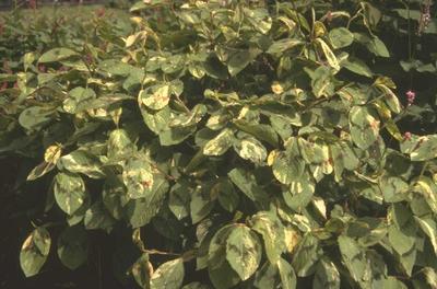Duizendknoop - Persicaria filiformis 'Painter's Palette'