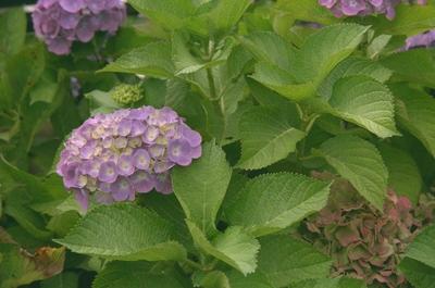 Hortensia - Hydrangea macrophylla 'Blaumeise'