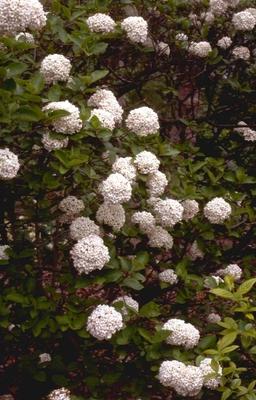 Viburnum x carlcephalum