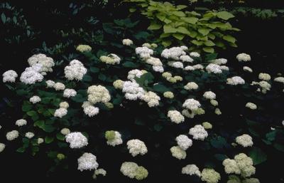 WildeHortensia - Hydrangea arborescens
