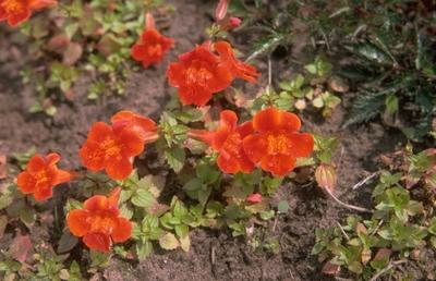 Maskerbloem Mimulus 'Orange Glow'