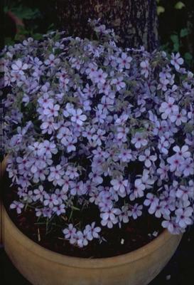 Voorjaarsvlambloem - Phlox divaricata 'Chattahoochee'