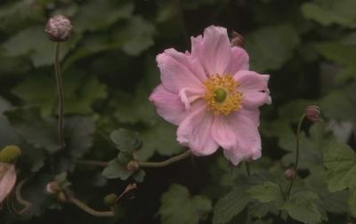 Herfstanemoon - Anemone x hybrida 'Königin Charlotte'