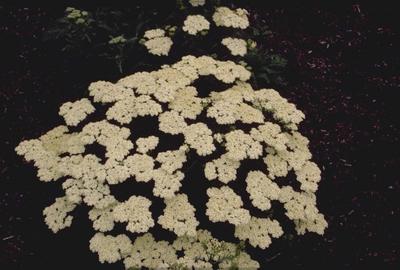 Duizendblad - Achillea nobilis subsp. neilreichii