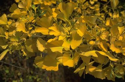 Japanse notenboom - Ginkgo biloba 'Santa Cruz'