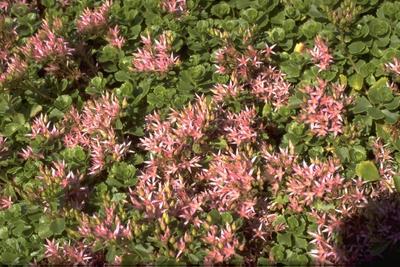 Rozevetkruid - Sedum spurium 'Roseum'