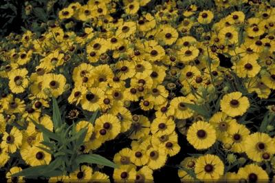 Zonnekruid - Helenium 'Blütentisch'