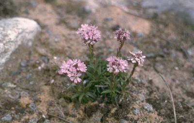 Alpenpekanjer - Lychnis alpina 'Rosea'