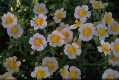 Zonneroosje - Helianthemum 'Salmon Queen'