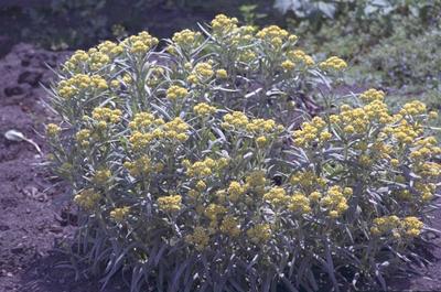 Strobloem - Helichrysum 'Schwefellicht'