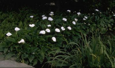 Iris 'Baria'