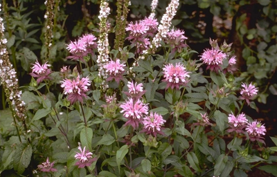 Bergamotplant - Monarda 'Beauty of Cobham'