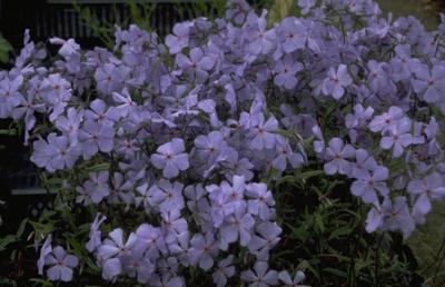 Voorjaarsvlambloem - Phlox divaricata 'Charles Ricardo'