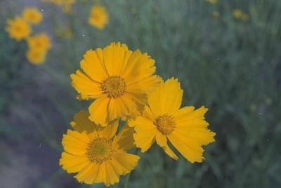 Meisjesogen - Coreopsis grandiflora 'Badengold'