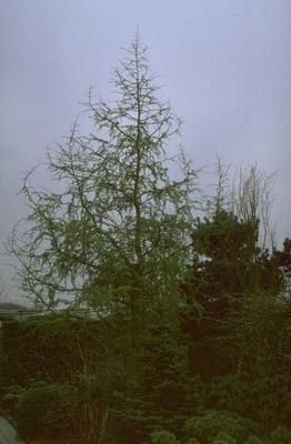 Japanse larix - Larix kaempferi 'Diana'