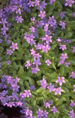 Klokje - Campanula Lactiflora 'Pouffe'