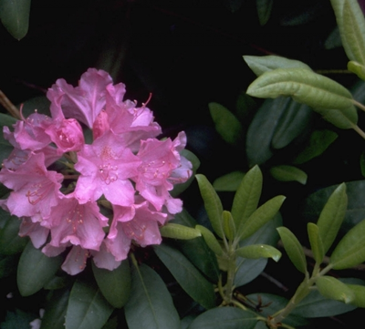 Rododendron - Rhododendron ponticum 'Roseum'