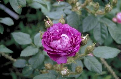 Mosroos - Rosa 'Baron de Wassenaar'