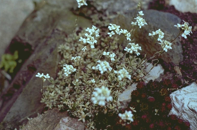 Arabis procurrens 'Variegata'