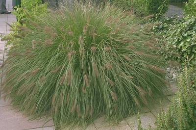 Lampenpoetsergras - Pennisetum alopecuroides 'Hameln'