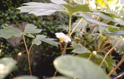Schildvoetblad 'Podophyllum peltatum'