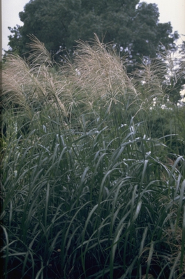 Prachtriet - Miscanthus sinensis 'Silberfeder'