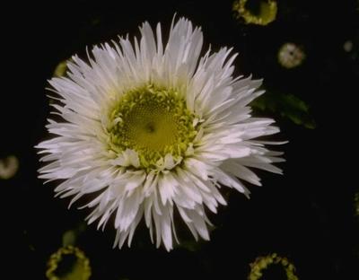 Magriet - Leucanthemum 'Snehurka'