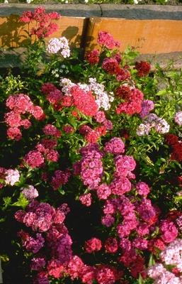 Duizendschoon - Dianthus barbatus