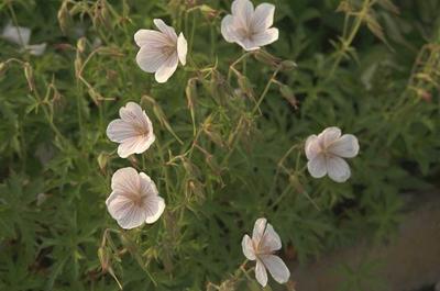 Ooievaarsbek - Geranium clarkei 'Kashmir White'