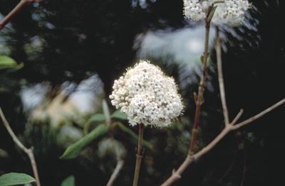 Viburnum buddlejifolium