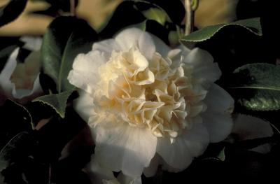Camelia - Camellia japonica 'Brushfield's Yellow'