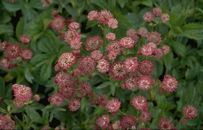 Zeeuws knoopje - Astrantia major 'Rubra'