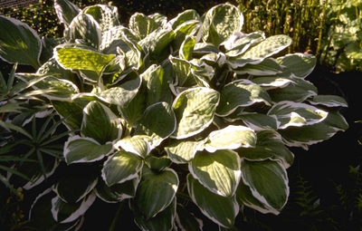 Hartlelie - Hosta decorata f. decorata