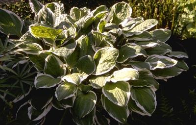 Hartlelie - Hosta decorata f. decorata